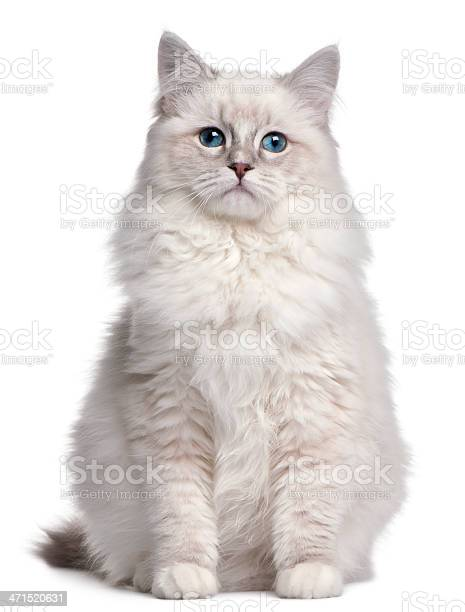 Ragdoll kitten 5 months old in front of white background picture id471520631?b=1&k=6&m=471520631&s=612x612&h=nkwhwlluno55zorku52kbsf5a58ug1fmrbf2 npajga=