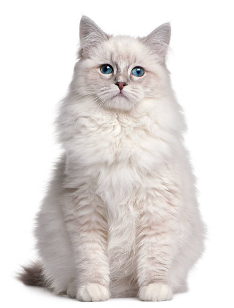 Ragdoll kitten 5 months old in front of white background picture id471520631?b=1&k=6&m=471520631&s=612x612&w=0&h=nbrgrhfcqigiitwenih8n5spwpxsmdq1b2d79mtaoau=