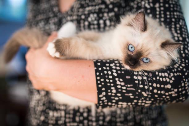 Ragdoll kitten in the arms of a woman picture id960423854?b=1&k=6&m=960423854&s=612x612&w=0&h=2bcjahdaks2vb1vzjukwaqpemprujup5aye7dk9hltk=