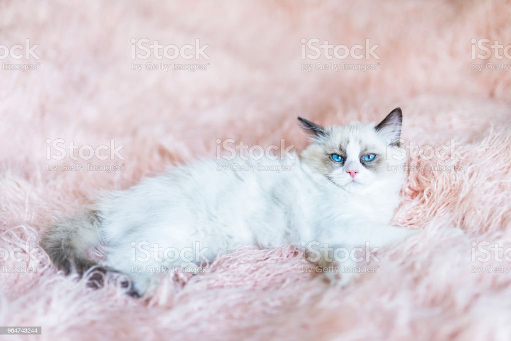 Ragdoll kitten royalty-free stock photo