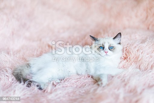 Ragdoll Kitten Stock Photo & More Pictures of Affectionate