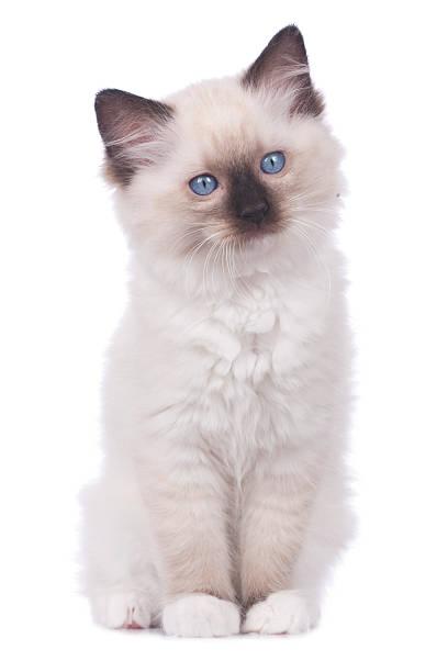 Ragdoll kitten sitting isolated on white picture id525032266?b=1&k=6&m=525032266&s=612x612&w=0&h=hyxmhtfmloofasryeh rx8kbeninrmprgvtqjzjcu 4=