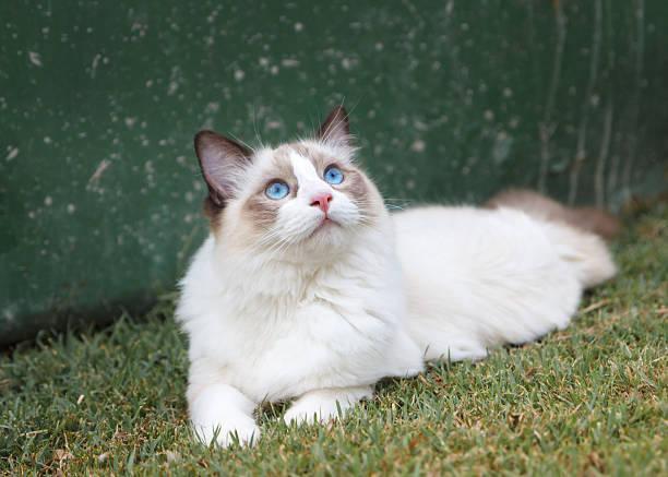 Ragdoll Kitten Watching the Sky stock photo