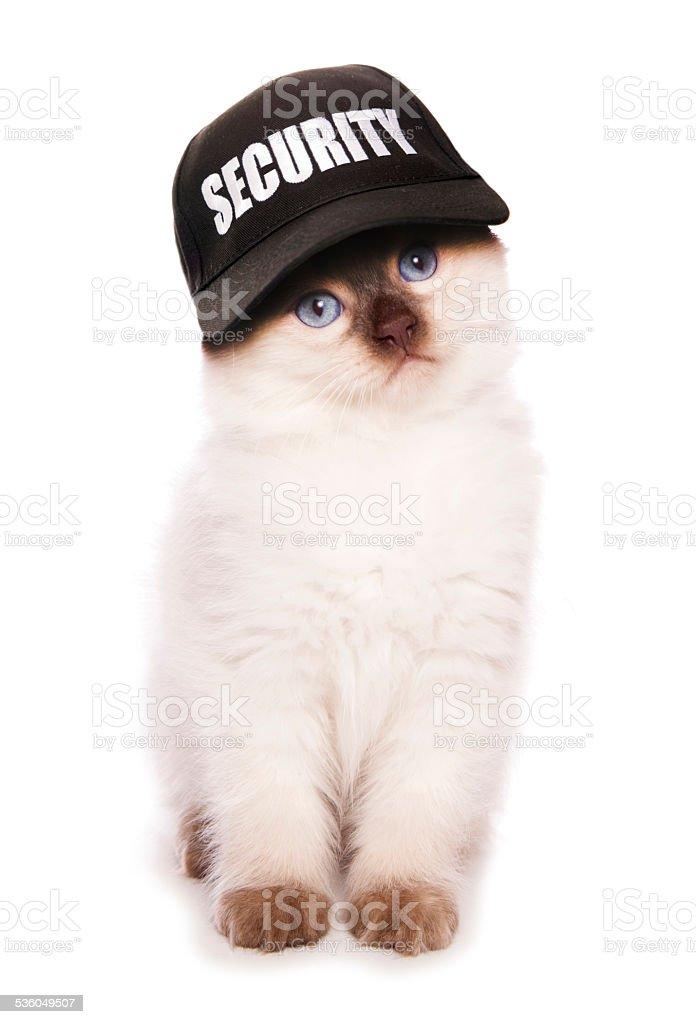 Ragdoll kitten wearing security baseball hat stock photo