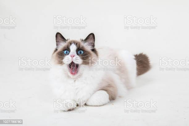 Ragdoll kitten yawning picture id1027789780?b=1&k=6&m=1027789780&s=612x612&h=w2eunoutw9mq0jk sgfwmu7mw1e1xbrvouy1ce0dblu=