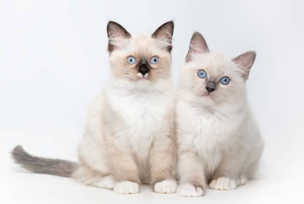 Ragdoll kittens 2 picture id989800466?b=1&k=6&m=989800466&s=612x612&w=0&h=dlzpaiblklhoq2rwepdwai5m6x fud1fv puvracjs0=