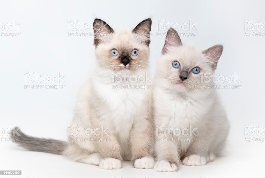 Ragdoll gatinhos 2 - foto de acervo