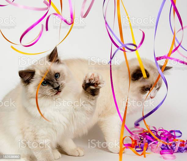 Ragdolls kittens playing with streamers picture id152538992?b=1&k=6&m=152538992&s=612x612&h=cekap18tcntc51k4cy04q1 sgkygcqcx7vfhib63e y=