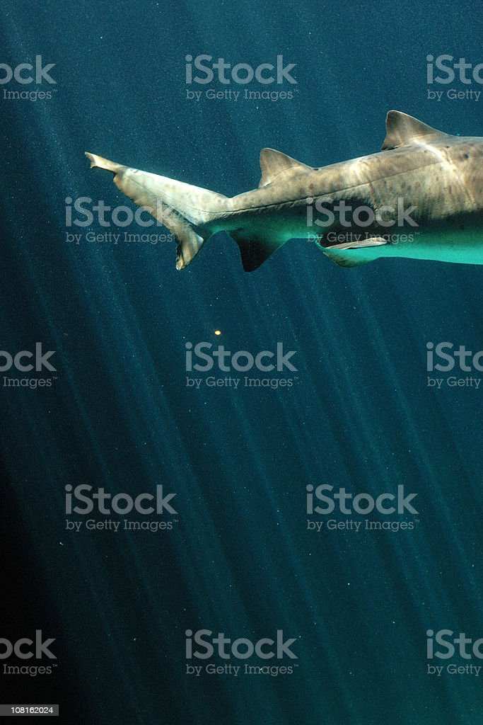 Ragged Tooth Shark's Tail Swimming in Water royalty-free stock photo