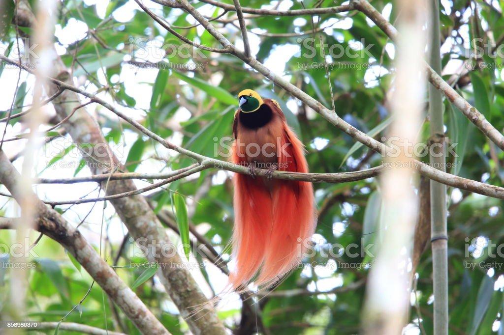 Raggiana Bird-of-paradise (Paradisaea raggiana) in Varirata National Park, Papua New Guinea stock photo