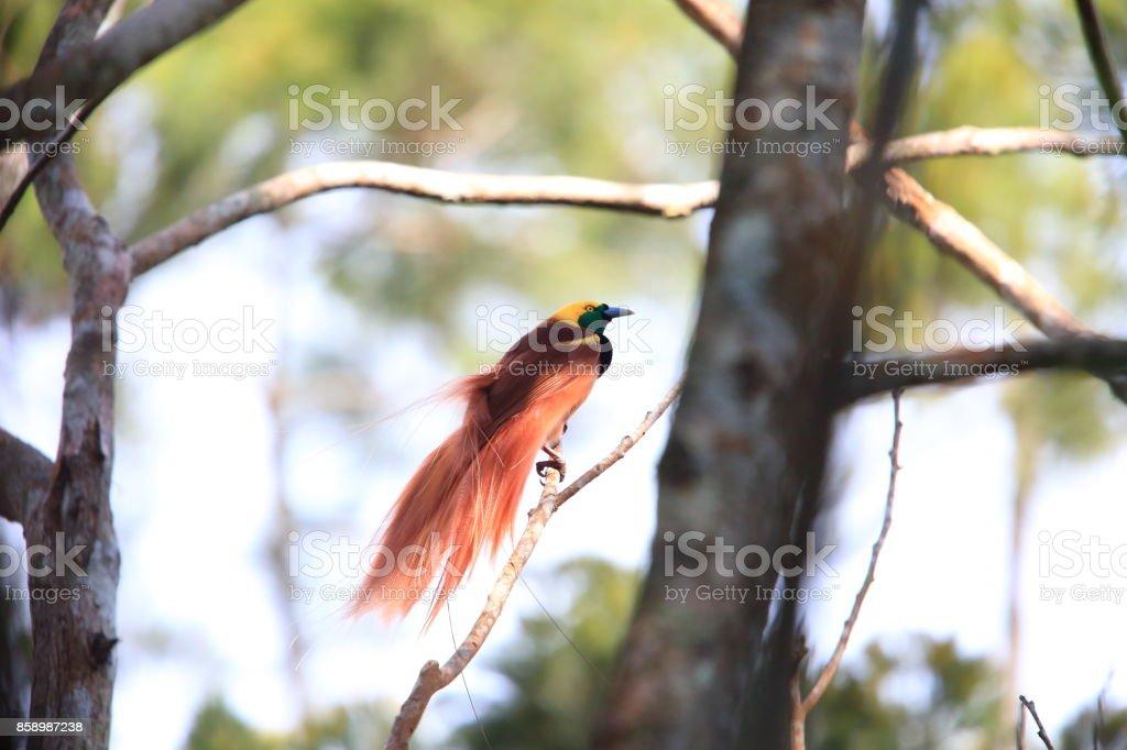 Raggiana Ave del paraíso (Paradisaea raggiana) en el Parque Nacional Varirata, Papua Nueva Guinea - foto de stock