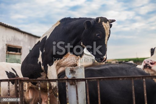 The mad bull in the pen climbs the bulls