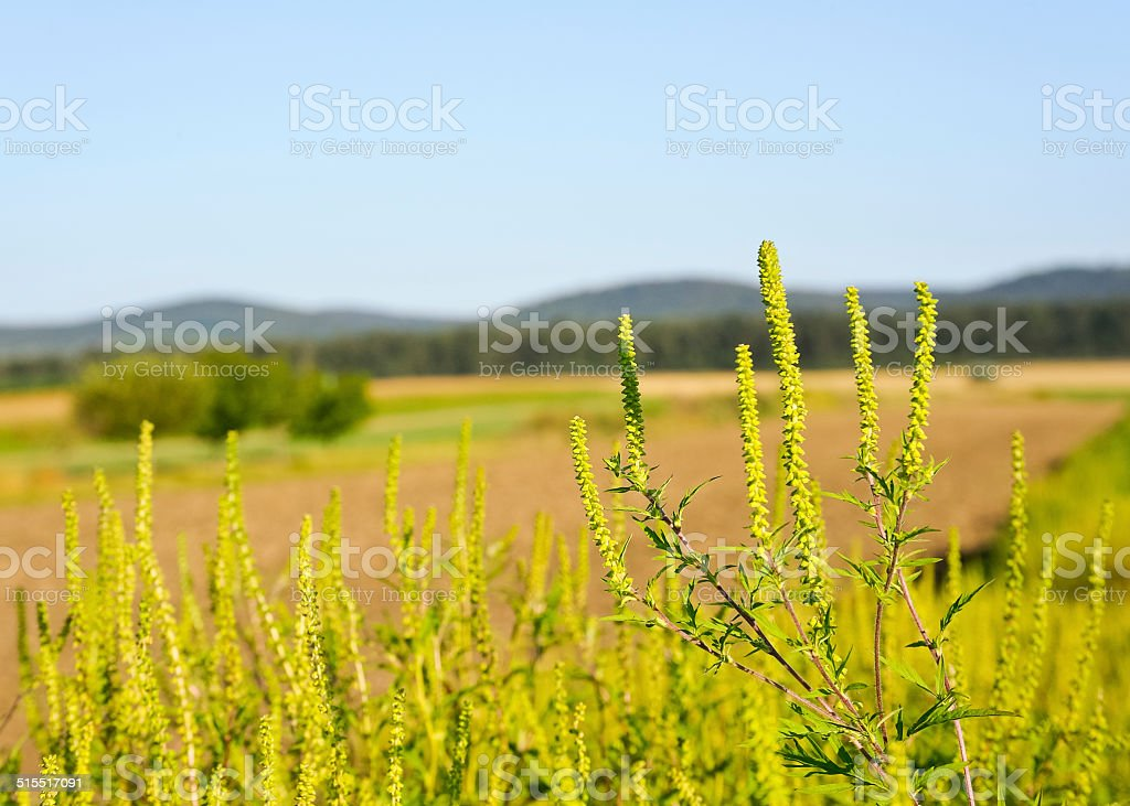 Ragweed allergy on the field stock photo