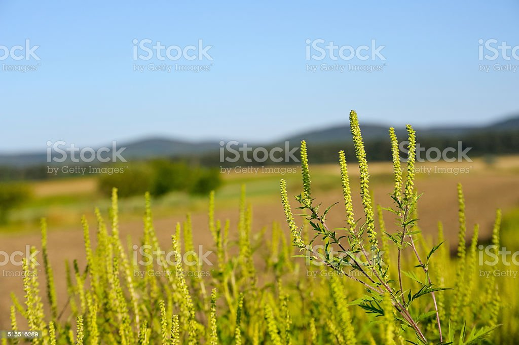 Ragweed on the field stock photo