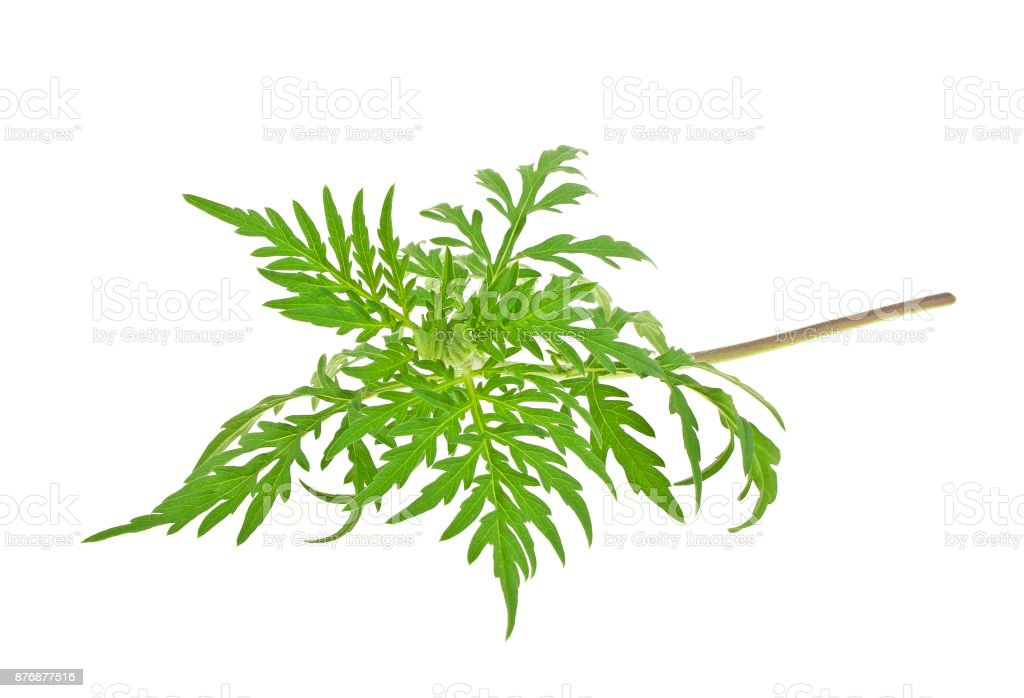 Ragweed plant in allergy season isolated on white background, common allergen – zdjęcie