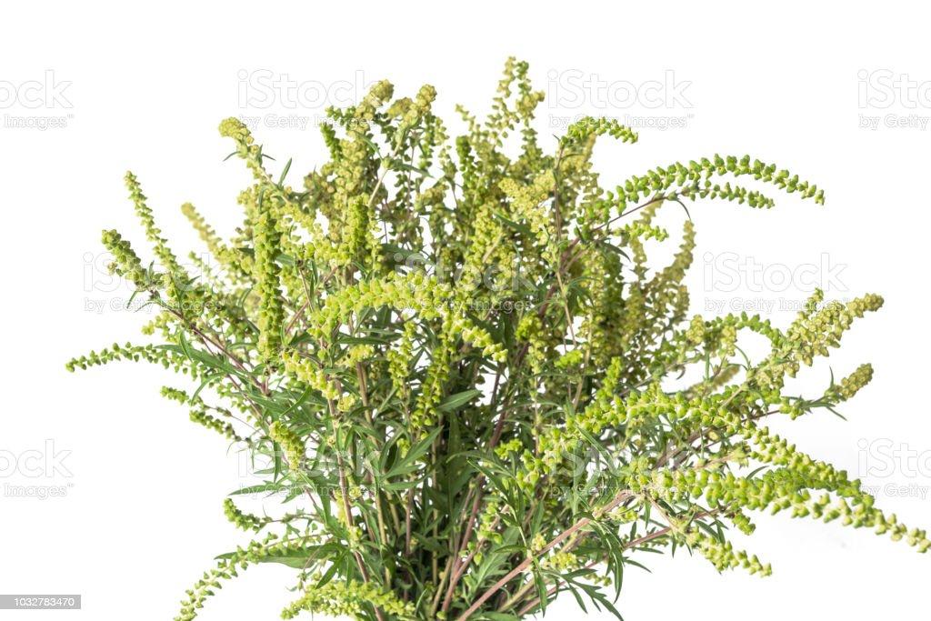 Eine Ambrosia-Pflanze isoliert auf weißem Hintergrund. – Foto