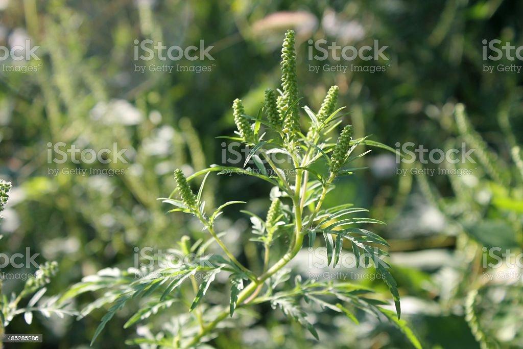 Ragweed plant stock photo