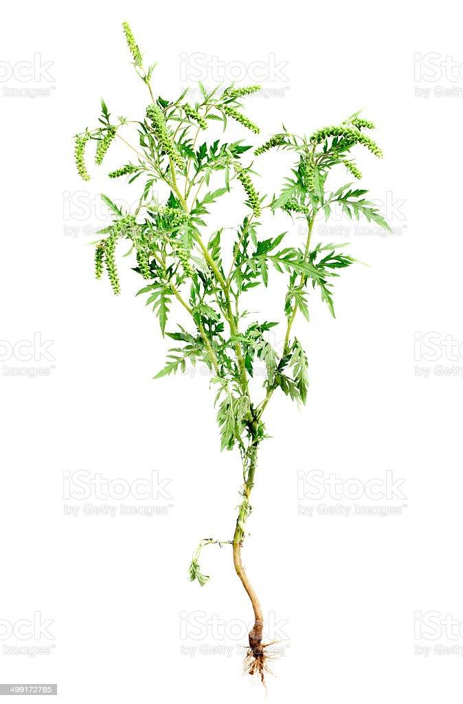 Ambrosie Pflanze mit Wurzeln, isoliert auf weißem Hintergrund, gemeinsame allergen – Foto