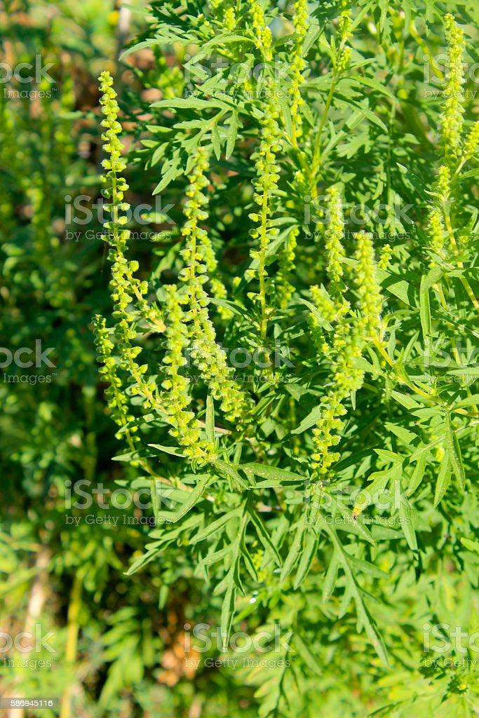 Ragweed plants stock photo