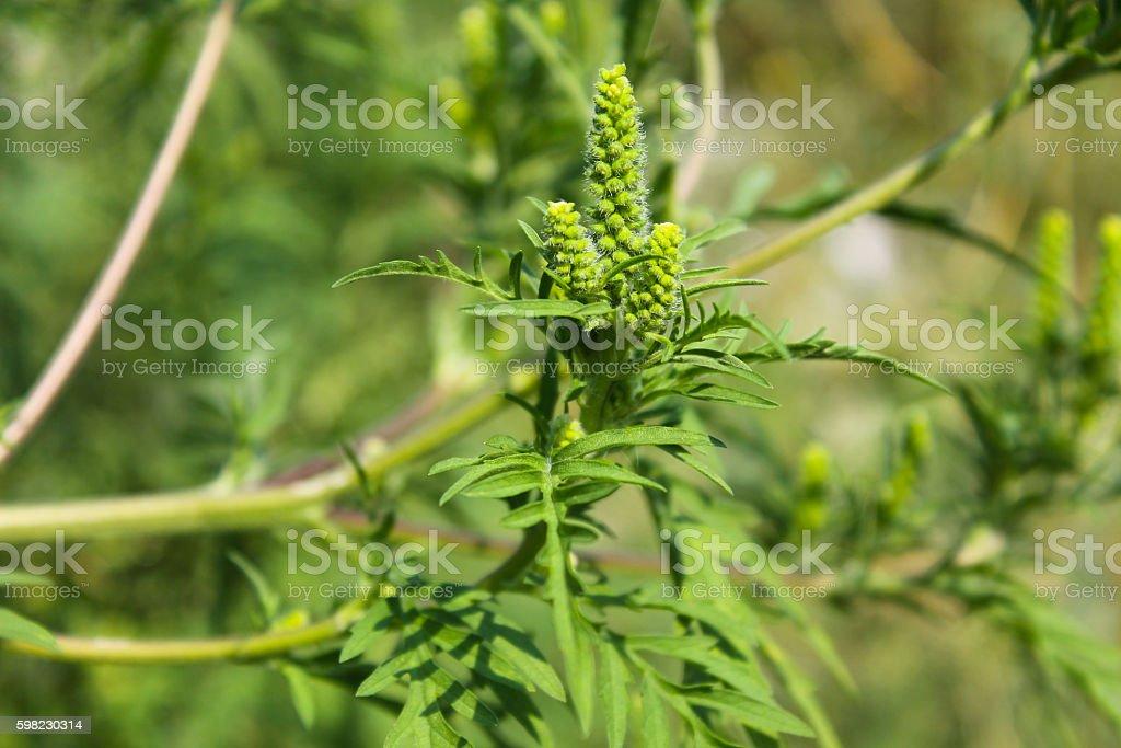 Ragweed plants foto royalty-free