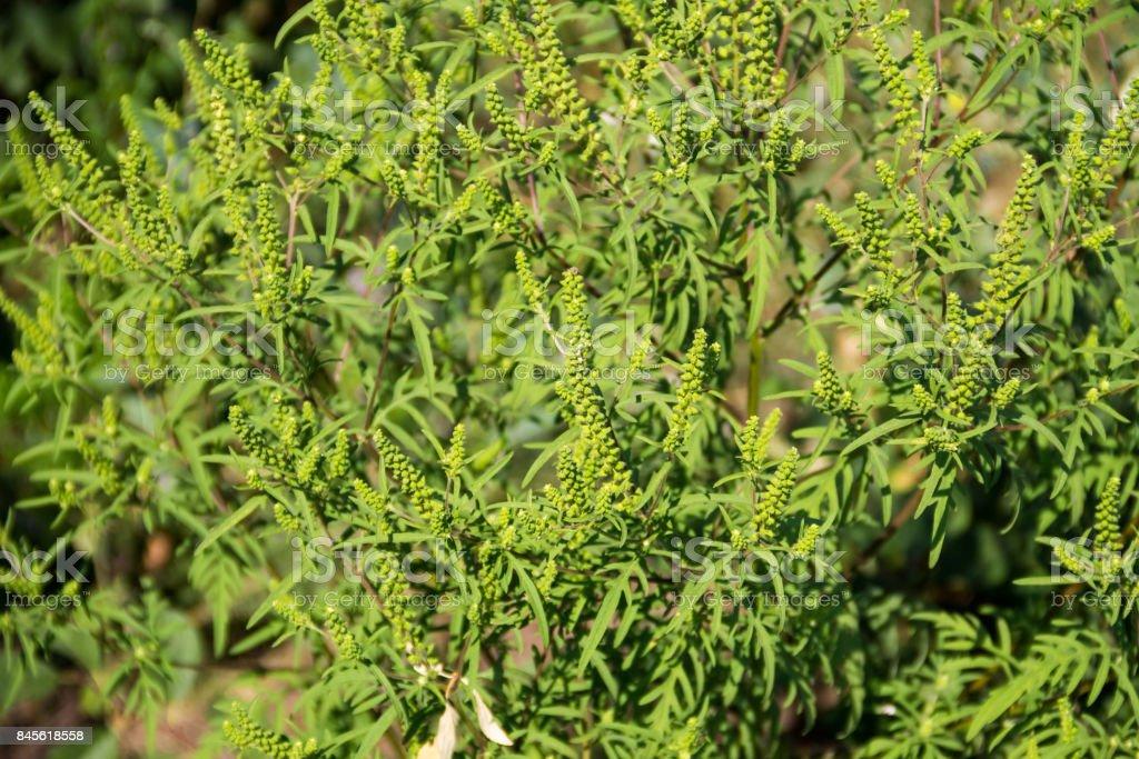 Ragweed plants – zdjęcie