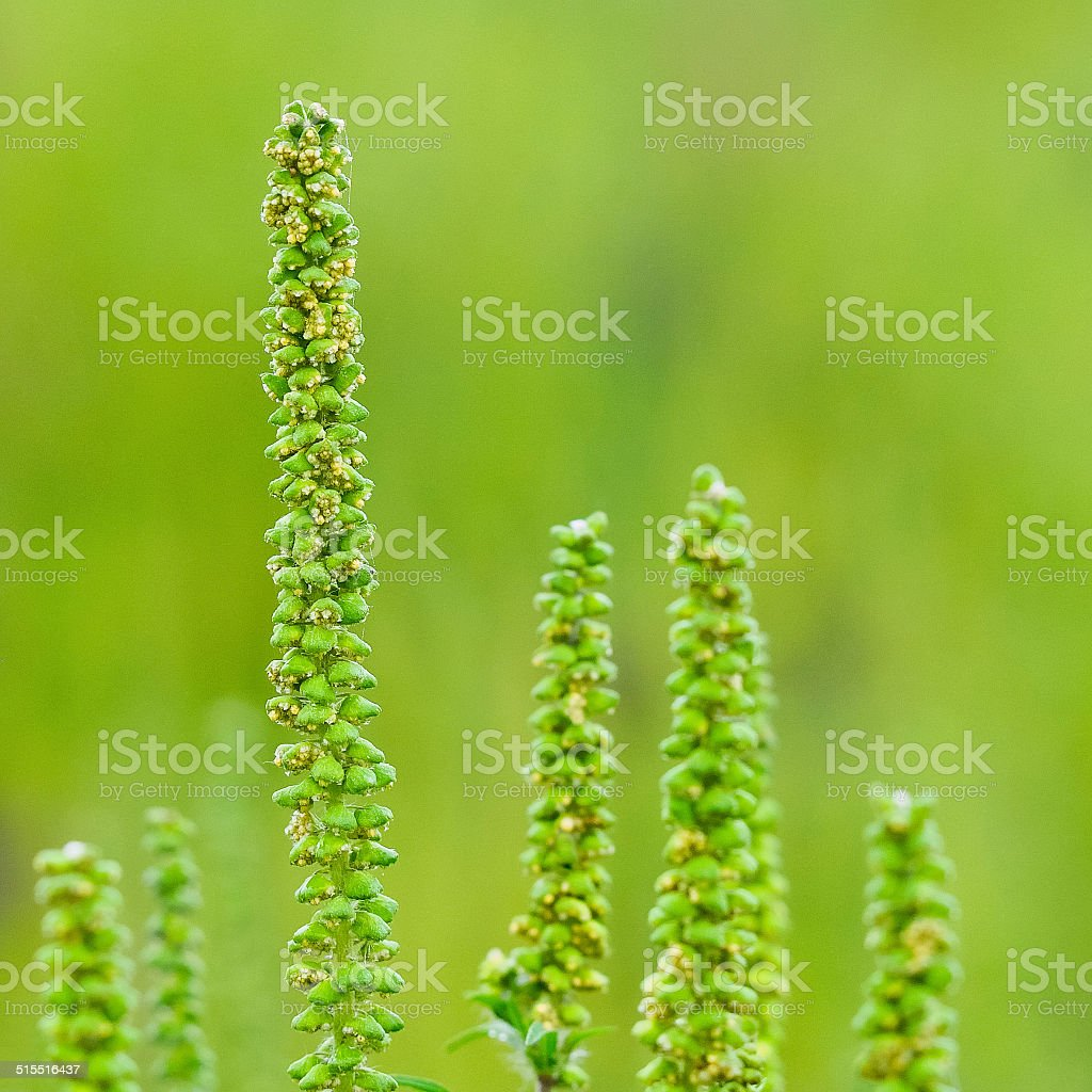 Ragweed pollen stock photo