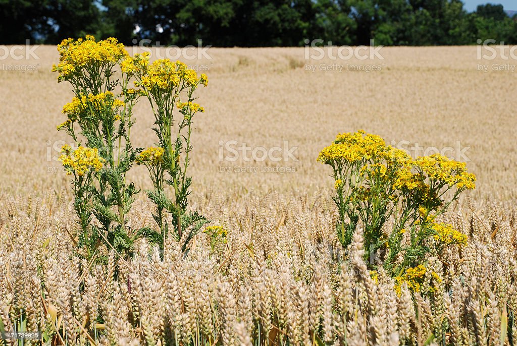 Ragwort in a field of wheat royalty-free stock photo