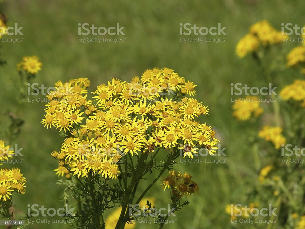 Ragwort royalty-free stock photo