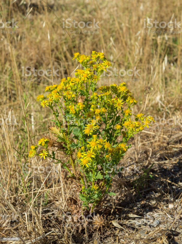 Ragwort, Senecio jacobea stock photo