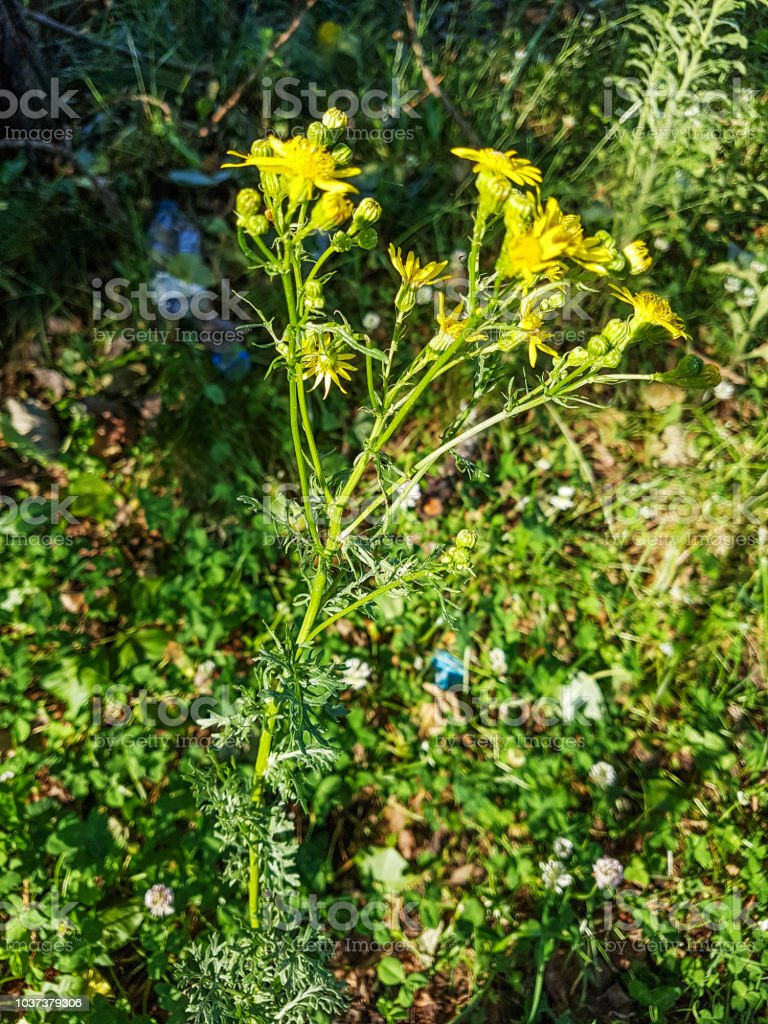 Chilca, willie que apesta o hierba de St. James-o - foto de stock