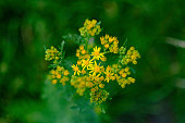 Ragwort is classed as poisonous and an injurious weed.