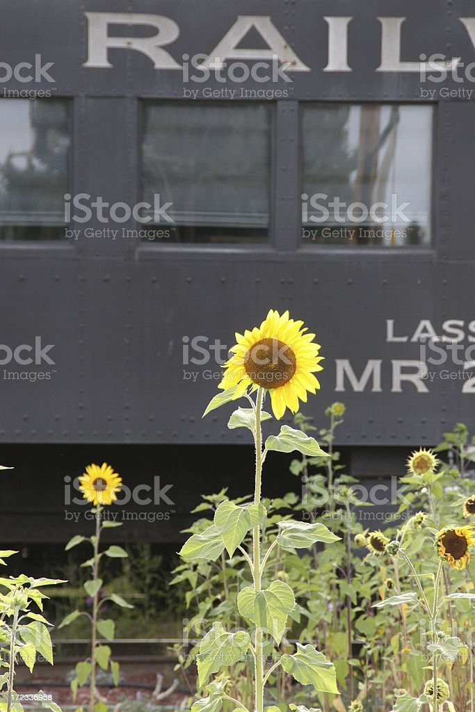 Railroad Sunflowers royalty-free stock photo