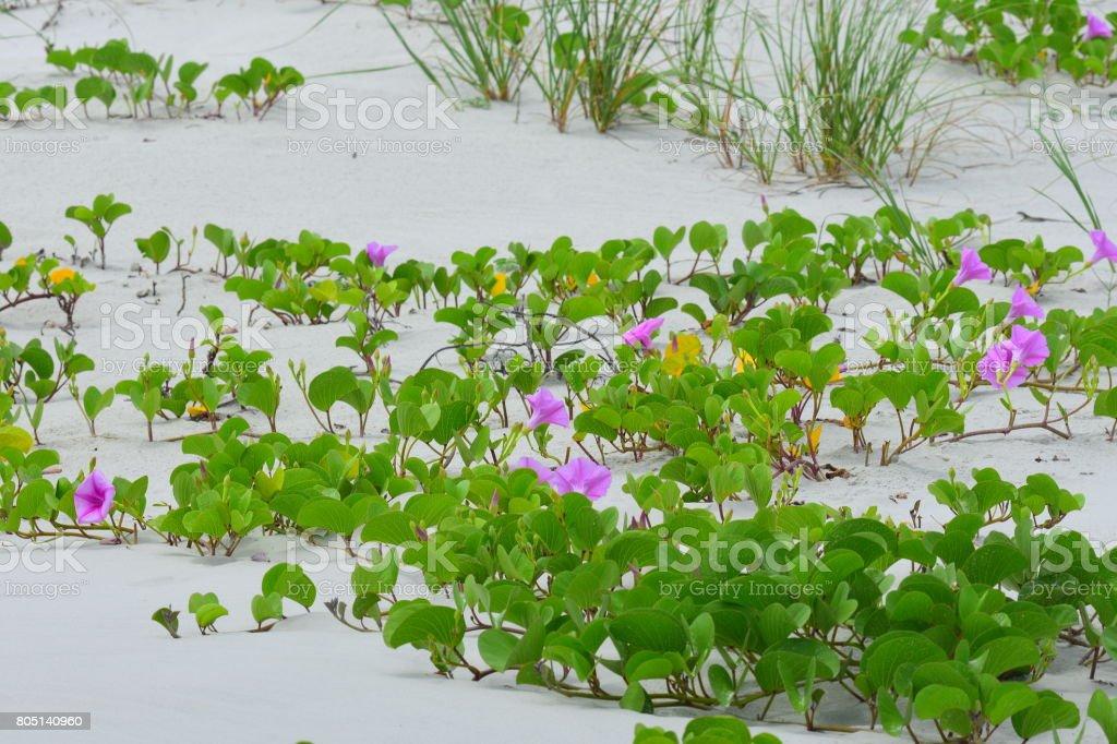 Railroad vine blooming on sand dune stock photo