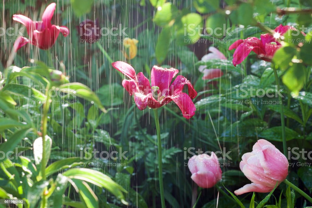 Rain and colorful tulips in the garden royalty-free stock photo