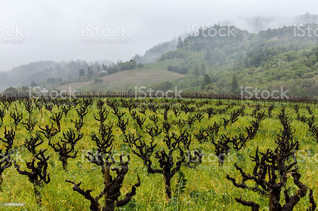 Rain and fog in a California vineyard with gnarly vines stock photo