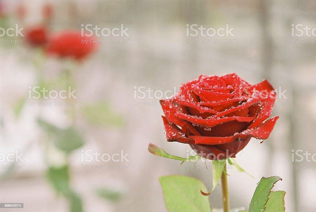 Rain and roses. royalty-free stock photo