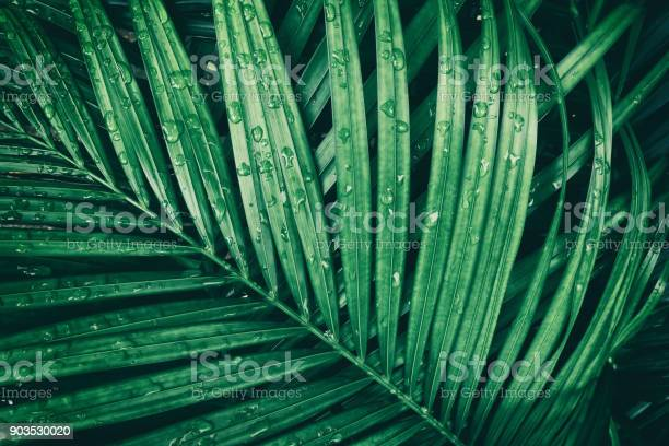 Rain drop on tropical palm leaf dark green nature background picture id903530020?b=1&k=6&m=903530020&s=612x612&h=z5anufpmjr smocrdergvitihaa3fe4krxberlorlbs=