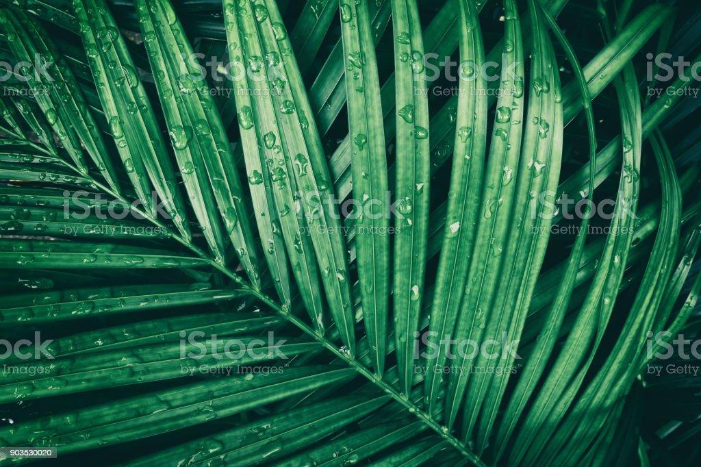 rain drop on tropical palm leaf, dark green nature background stock photo