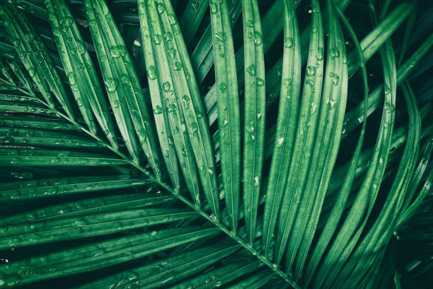 rain drop on tropical palm leaf, dark green nature background rain drop on tropical palm leaf, dark green toned green leaf stock pictures, royalty-free photos & images