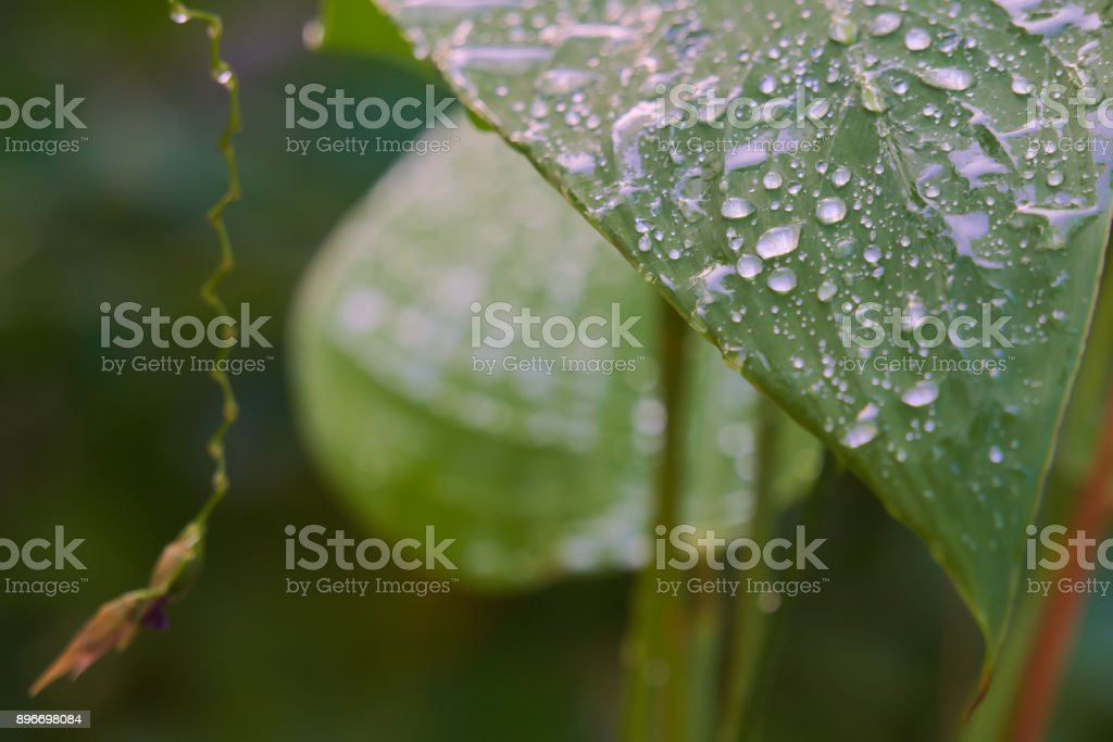 Rain drops glistening on recently showered garden leaves, after a hard rain. stock photo