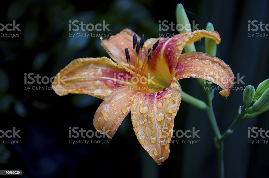 Rain drops on a lily royalty-free stock photo