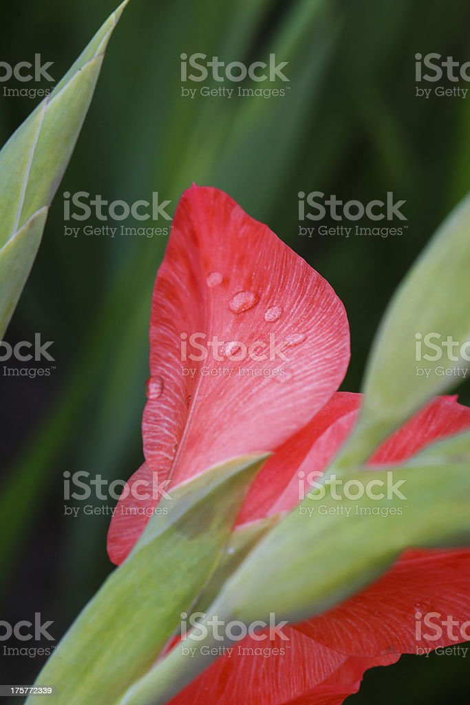 Rain drops on a pink gladiolus flower closeup royalty-free stock photo