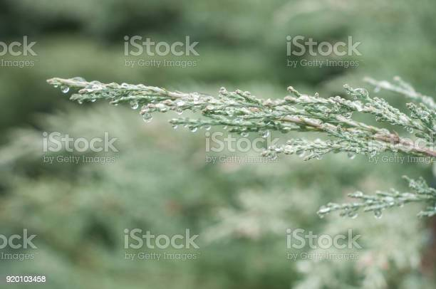 Photo of rain drops on cypress tree in the hedge
