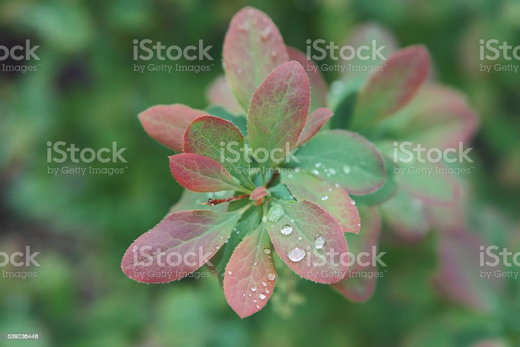 Rain drops on fresh green leaves. royalty-free stock photo