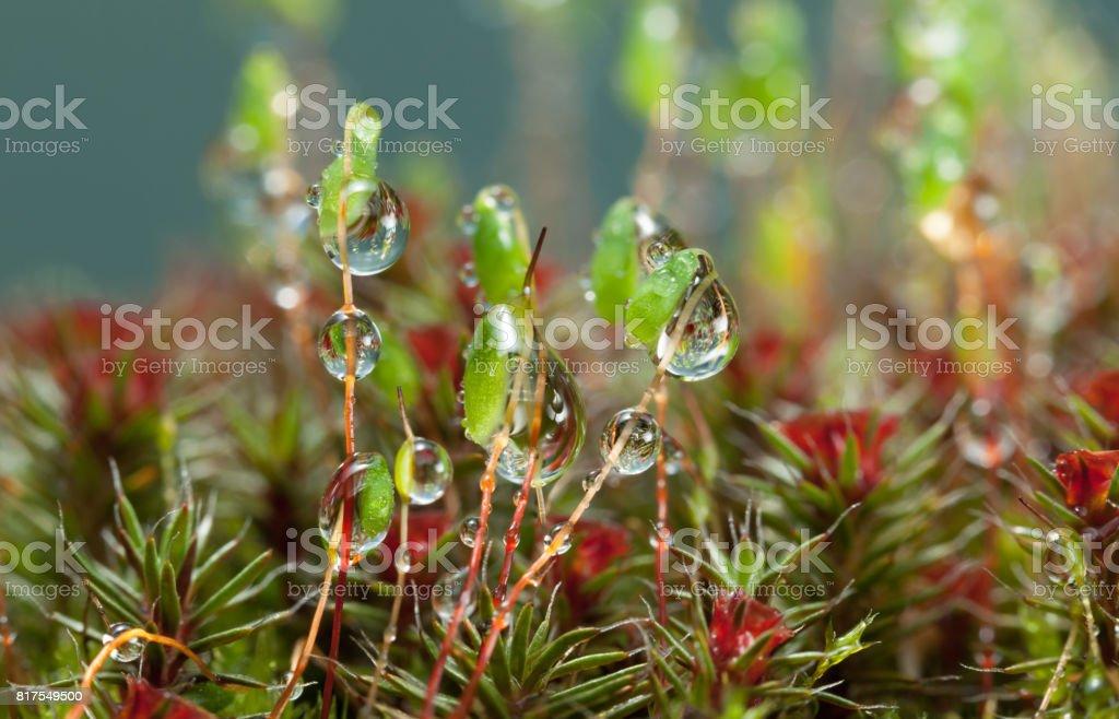 Rain drops on pohlia and haircap moss stock photo
