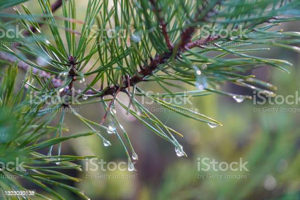 Photo of Rain drops on the end of pine needles