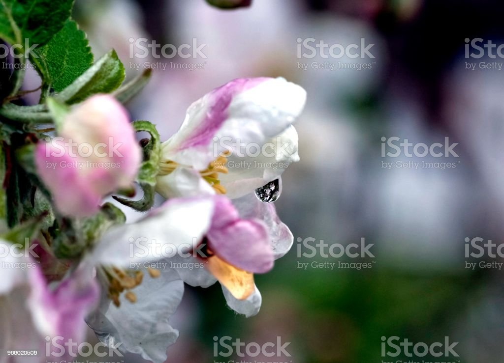 rain drops on the flowers of Apple - Royalty-free Apple - Fruit Stock Photo