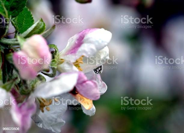 Rain Drops On The Flowers Of Apple Stock Photo - Download Image Now