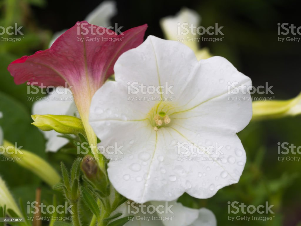 Rain Drops On The White Petunia Flower Hanging Stock Photo Istock
