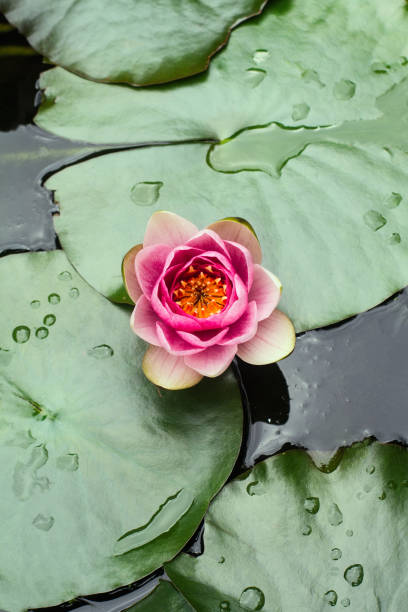 rain drops on water lily stock photo